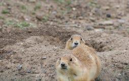 Two Prairie Dogs at Burrow Stock Photos
