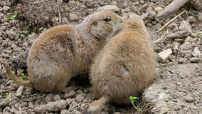 Prairie dogs cuddling stock images