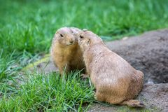 Two prairie dogs cuddling royalty free stock photo