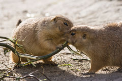 Two prairie dogs eating branch Stock Photography