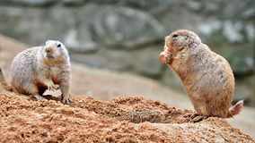Two prairie dogs. Eating carrot stock video footage