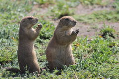 Two Prairie dogs Royalty Free Stock Photos