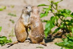 Two prairie dogs give each other a kiss stock photography