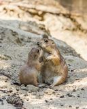 Two prairie dogs kissing Royalty Free Stock Photography