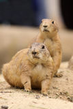 Two prairie dogs looking to the left Stock Photo