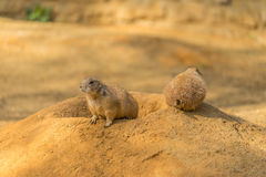 Two prairie dogs. Prairie dog doing security. Stock Photography