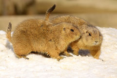 Two prairie dogs in the snow Stock Images