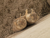 Two prairie dogs standing together leaning against cement wall. royalty free stock photography
