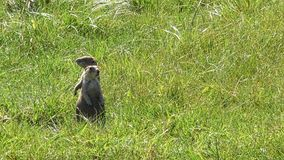 Two Prairie dogs. Standing guard duty, Custer State Park, South Dakota. Camera locked stock video footage