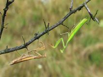 Two praying mantises (Mantis religiosa) fighting on a twig Stock Images