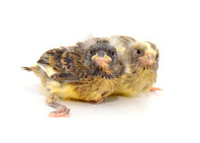 Two Canaries Stock Photos