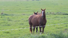 Two pregnant horses going on the meadow stock video