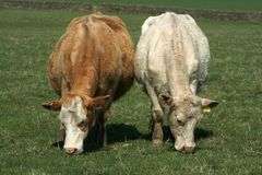 Two pregnant ladies. Two heavily pregnant charlais cows graze in a field Royalty Free Stock Images