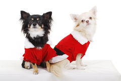 Two pretty dogs in christmas costume. Two Pretty dogs in santa costume from the front stock images