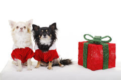 Two pretty dogs in christmas costume beside gift. Two Pretty dogs in santa costume from the front beside a christmas gift royalty free stock photos