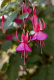 Two pretty fuchsia flowers. Royalty Free Stock Images