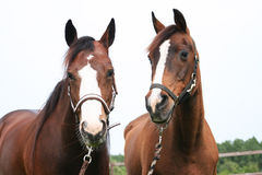 Two Pretty Horses. Portrait of two pretty horses, a young horse and an old horse royalty free stock image