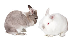Two pretty little bunny rabbits Stock Photos