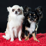 Two pretty little Chihuahua dogs Stock Images