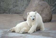 Two pretty polar bears Stock Photos
