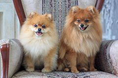 Two pretty pomeranian puppies are sitting in a large armchair. royalty free stock photography