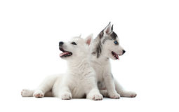Two pretty puppies of siberian husky dog waiting for food. Royalty Free Stock Images