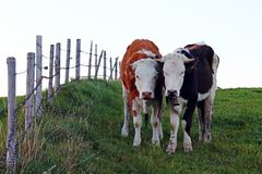 Two pretty young Simmental cows with horns royalty free stock photo