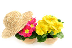 Two primula in pink and yellow with sun hat. Royalty Free Stock Images