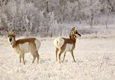 Two Pronghorn Antelopes Royalty Free Stock Photos