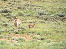 Two pronghorns, Antilocapra americana, doe and fawn Stock Image