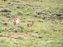 Two pronghorns, Antilocapra amaricana, doe and fawn Stock Image