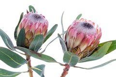 Two Protea Flower On A White Background Royalty Free Stock Images