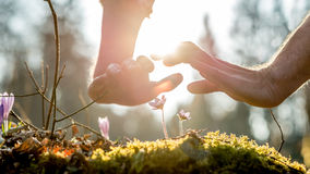 Two protective hands above fragile wild flowers Stock Photography