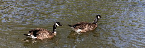 Two Canada goose Branta canadensis swim in the water stock images