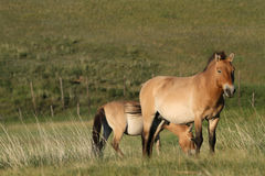 Two Przewalski horses Royalty Free Stock Photos