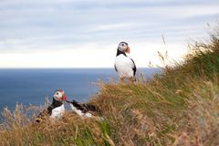 Two puffin birds  against sea at sunset in Iceland stock photography