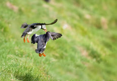Two puffin landing on green grass Stock Photography