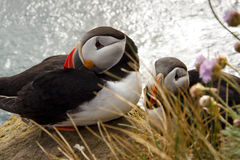 Two puffin on the rock - Latrabjarg, Iceland Stock Photography
