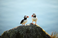 Two Puffins. On a cliff, Norway Stock Images