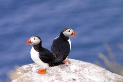 Two Puffins Royalty Free Stock Image