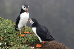 Two Puffins Royalty Free Stock Images