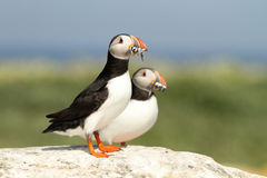 Two puffins with fish in their beaks on a rock Stock Image