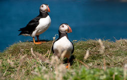 Two Puffins on the Island of Lunga Royalty Free Stock Photos