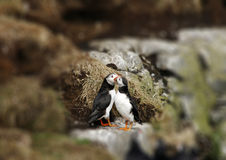 Two puffins in love royalty free stock images
