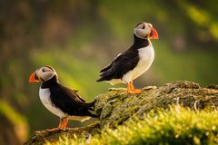 Faroe two puffins Stock Photo