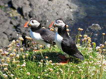 Two puffins pose for the camera. A pair of puffins on a cliffedge royalty free stock images