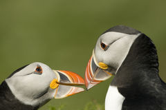 Two puffins reinforcing pair bond. Two puffins indulging in courtship behaviour island of Skomer ,Wales Royalty Free Stock Photos