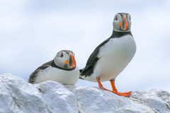 Two puffins sat on a wall Royalty Free Stock Images