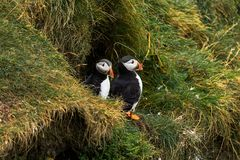 Two Puffins standing outside their nest royalty free stock image