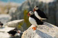 Two puffins standing on a rock Royalty Free Stock Photos